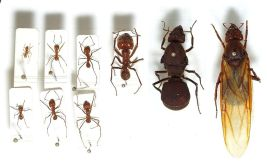 Worker ants of various castes and two large queens