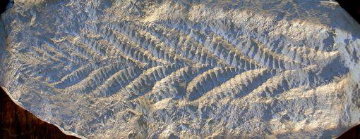 Charnia Pre-Cambrian fossil
