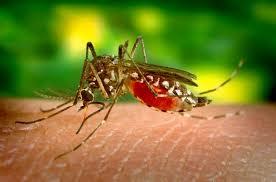 mosquite-feeding